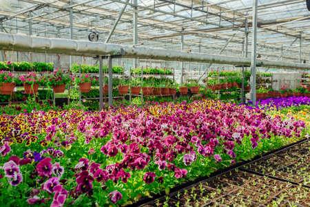 Blooming multi-colored pansies grown in modern greenhouse, selective focus.