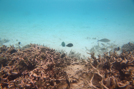 Underwater view of dead coral reefs and beautiful fishes. Snorkeling. Maldives, Indian ocean. Imagens