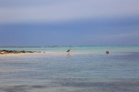 Beautiful nature tropical landscape view. Maldives, Indian Ocean. Alone bird in beautiful turquoise water near coast line.