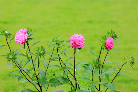 Beautiful view of pink aster bush isolated on green grass background. Gorgeous nature backgrounds.