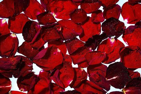 Close up view of red rose petals on white water background. Gorgeous backgrounds.