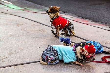 Close up view of two small cute dogs in costumes. Las Vegas. Nice nature background.