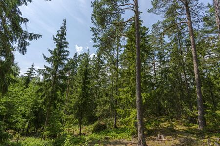 Beautiful view of the rocky nature landscape in forest. High green pine trees on blue sky background. Amazing nature landscape background. Sweden, Europe. Stock Photo