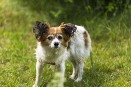 Close up macro view of cute white brown dog on green grass background.