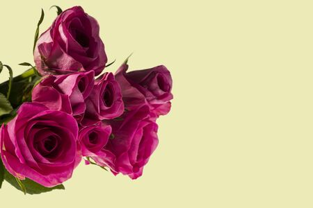 Gorgeous pink roses close up view isolated. Beautiful backgrounds. Valentine day backgrounds. Postcard.