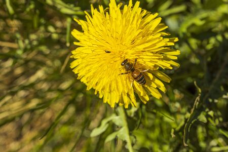 Close up macro view of bee on yellow dandelion isolated. Gorgeous nature backgrounds. Nature insects concept.