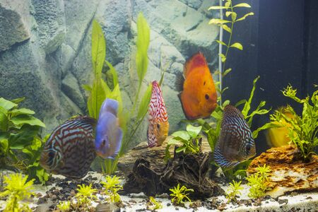 Close up view of discus fish swimming in planted aquarium. Tropical fishes. Beautiful nature backgrounds. Hobby concept.
