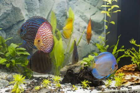 Close up view of discus fish swimming in planted aquarium. Tropical fishes. Beautiful nature backgrounds. Hobby concept. Stock Photo