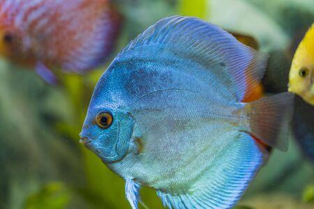 Close up view of gorgeous blue angel diskus aquarium fish. Hobby concept. Archivio Fotografico