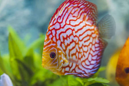 Close up view of gorgeous checkerboard red map diskus aquarium fish. Hobby concept. Stock Photo