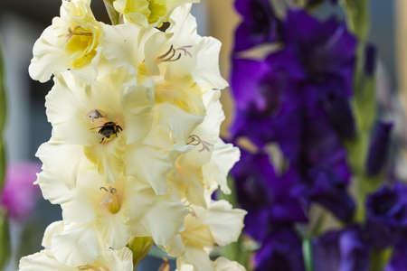 Gorgeous view of yellow white and purple gladiolus isolated and bee on one of flowers. 스톡 콘텐츠