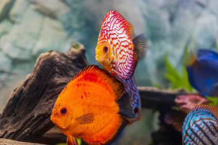 View of discus fish swimming in planted aquarium. Tropical fishes. Beautiful nature backgrounds. Hobby concept. Stock Photo