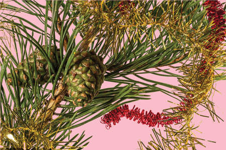 View of green pine trees branch with brown cone isolated on blue background. Christmas holidays concept. Postcard. Beautiful Christmas backgrounds.