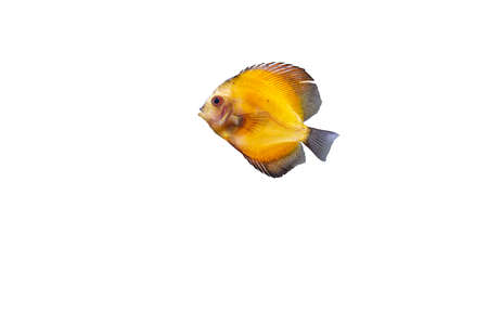 Close up view of gorgeous millennium gold discus aquarium fish isolated on white background. Hobby concept. Stock Photo
