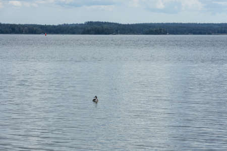 Beautiful view of waterfowl bird on Baltic sea surface. Natural backgrounds.