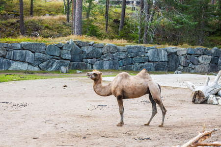 Gorgeous view of camel from natural park. Kolmarden Sweden. Stok Fotoğraf