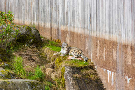 Beautiful view of gorgeous snow leopard laying on rock of Swedish zoo.