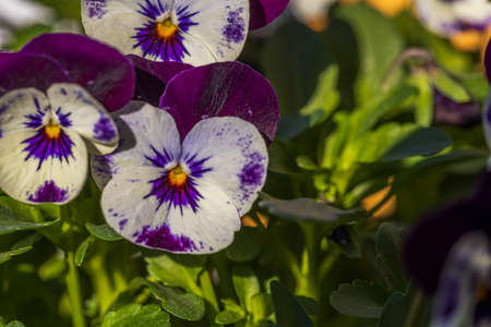 Close up macro view of white-purple Pansies flower isolated on background. Beautiful nature backgrounds.