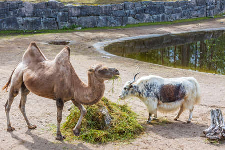 Close up view of camel and mountain goat chewing grass in outdoor cattle corral of wildlife natural park. Sweden. Stok Fotoğraf