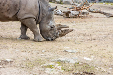 Close up view of wild rhino in outdoor wildlife natural park. Beautiful nature backgrounds. Sweden. Stok Fotoğraf