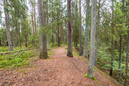 Beautiful nature forest landscape view. Path between tall trees.