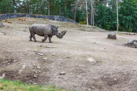 Beautiful view of rhino in zoo aviary. Wildlife outdoor park. Sweden.