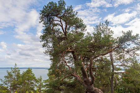 Tops of green pine trees on blue sky and white clouds background on sunny summer day. Sweden.