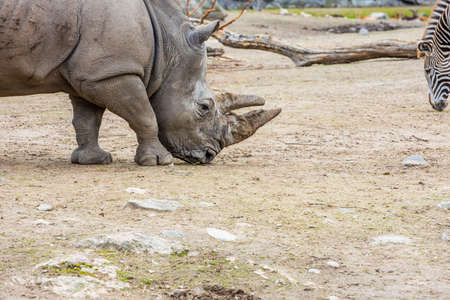 Beautiful view of wild rhino in outdoor wildlife natural park. Beautiful nature backgrounds. Sweden.