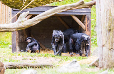 View of group of black monkeys in aviary. Beautiful animals backgrounds. Sweden.