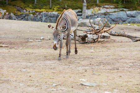Gorgeous view of zebra in outdoor wildlife nature park. Sweden. Stok Fotoğraf