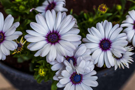 Gorgeous close up view of white african daisy flower on green background. Beautiful nature backgrounds.