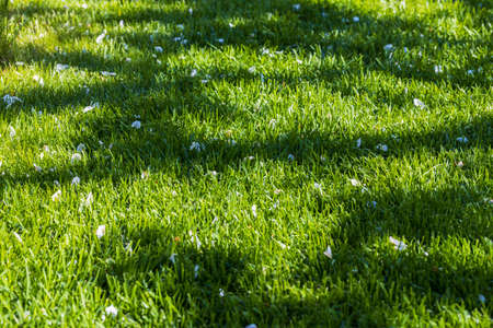 Beautiful view of grass lawn with white fallen apple blossom petals. Sweden. Stok Fotoğraf
