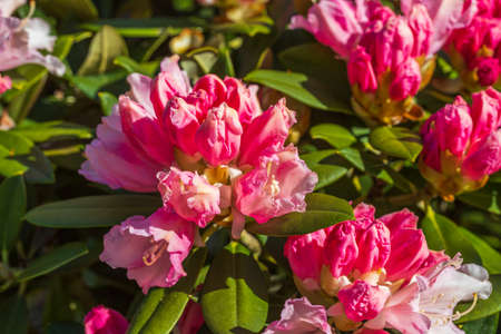 Macro view of blooming rhododendron. Beautiful nature backgrounds. Stok Fotoğraf
