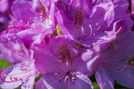 Macro view of blooming rhododendron in spring. Beautiful nature backgrounds.