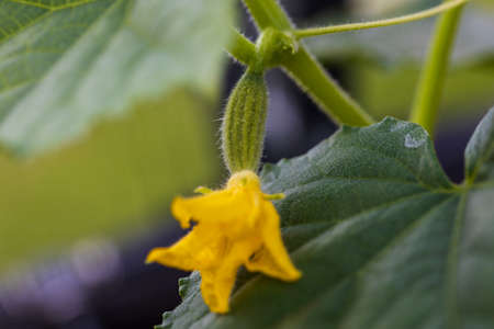 Macro view of flowering cucumbers. Healthy eating concept. Beautiful green nature backgrounds.
