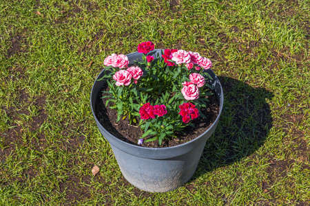 View of pink carnation flowers in flower pot on green grass background. Beautiful backgrounds.