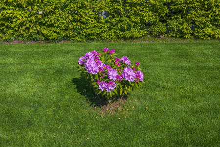 Beautiful view on purple bush of rhododendron on a green background. Great natural backgrounds. Sweden. Stok Fotoğraf