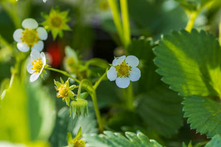 Close up macro view of white flowers of strawberry. Stok Fotoğraf