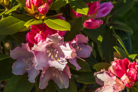 Macro view of blooming red rhododendron. Beautiful nature backgrounds. Stok Fotoğraf