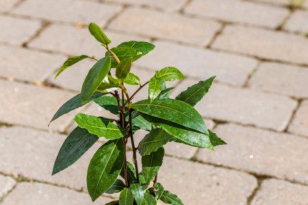 Close up view of bay laurel tree plant on background. Sweden. Stok Fotoğraf