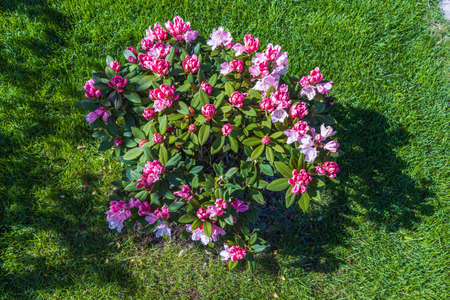 Ð¡lose up view of blooming rhododendron in spring. Beautiful nature backgrounds. Sweden.