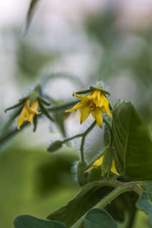 Close up view of flowering tomatoes. Healthy eating concept. Beautiful green nature backgrounds Stok Fotoğraf