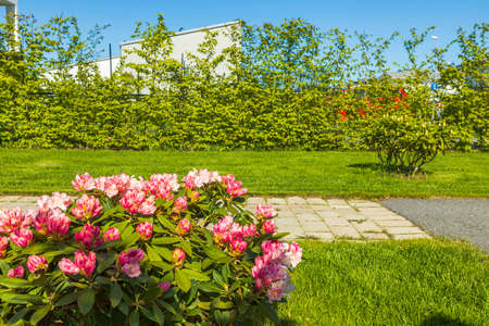 Beautiful view of blooming pink rhododendron flower. Gardening concept. Sweden. Stok Fotoğraf