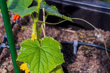 Close up view of flowering cucumbers. Healthy eating concept. Beautiful green nature backgrounds.