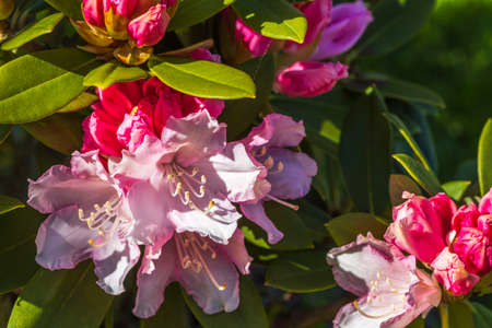Close up view of blooming red rhododendron. Beautiful nature backgrounds.