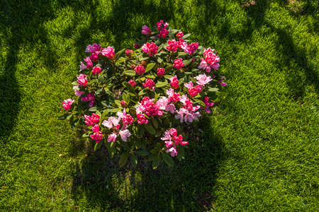 Top view on blooming rhododendrons in spring. Beautiful backgrounds of nature. Sweden. Stok Fotoğraf