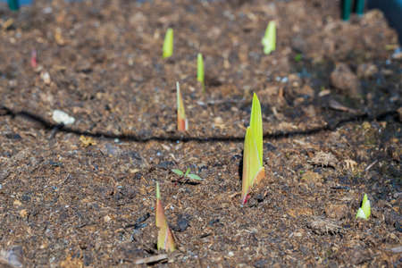 Close up view of sprouting gladiolus. Gardening concept. Stok Fotoğraf