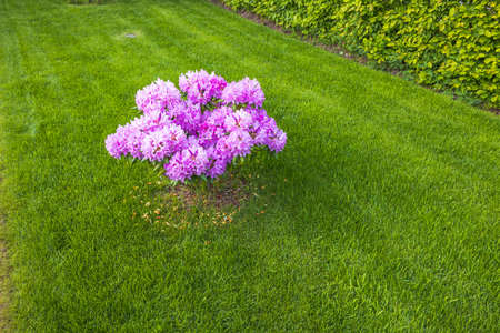 Beautiful landscape view of pink rhododendron flower on townhouse front yard. Sweden.