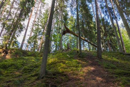 Beautiful summer view of mountain nature landscape in forest. High green pine trees on blue sky background. Sweden.
