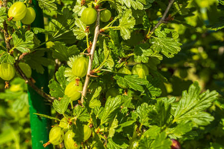 Close up macro view of cute gooseberry on a twig. Summer gardening concept.